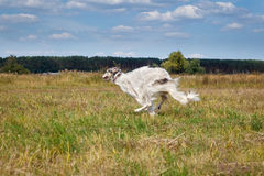 Russian borzoi dog running in the field Royalty Free Stock Photos