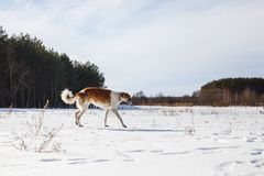 Russian Borzoi dog runs through a snowy field in winter royalty free stock image