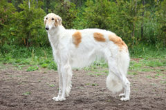 Russian borzoi dog standing Stock Image