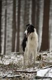 Russian borzoi dog on the winter forest. Russian, black and white, large, haired, beautiful, elegantly, sublime, borzoi, chart dog calmly stands in the winter Royalty Free Stock Photos