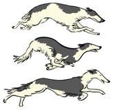 Russian Borzoi Dogs Royalty Free Stock Image