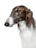 Russian borzoi, greyhound dog. Side portrait of Russian borzoi, greyhound dog on white background Royalty Free Stock Photography