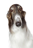 Russian borzoi, greyhound dog Stock Image