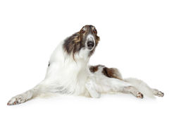 Russian borzoi, greyhound dog Royalty Free Stock Images
