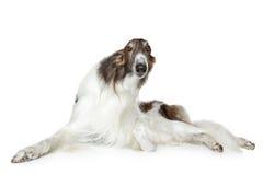 Russian borzoi, greyhound dog. Russian borzoi lying on white background Royalty Free Stock Images