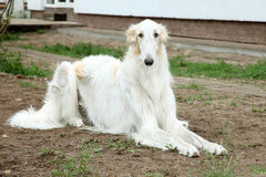 Russian borzoi, greyhound dog Stock Images