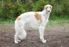 Russian borzoi, greyhound dog standing. Outdoor shoot Stock Image