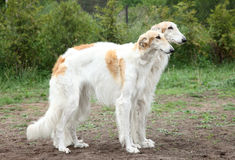 Russian borzoi hounds Stock Image