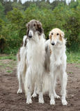 Russian borzoi hounds Royalty Free Stock Images