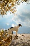 Russian Borzoi. On lake bakground with yelloy autumn tree Stock Photo