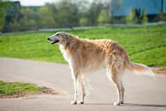 Russian borzoi Royalty Free Stock Photos