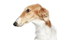 Russian Borzoi. Profile portrait. Russian Borzoi - Wolfhound dog. Head profile portrait on a white background Royalty Free Stock Photos