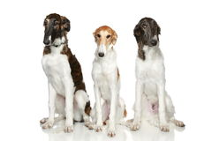 Russian Borzoi puppies (5 months) Royalty Free Stock Photography