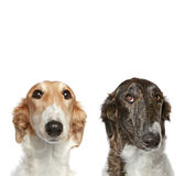 Russian Borzoi puppies (5 months). Portrait with copy space on a white background Royalty Free Stock Photos