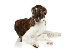 Russian Borzoi puppy. (5 months) lying on a white background Royalty Free Stock Images