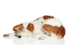 Russian Borzoi puppy (5 months) Stock Photo