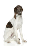 Russian Borzoi puppy (5 months). Sad Russian Borzoi puppy (5 months) sits on a white background Royalty Free Stock Image