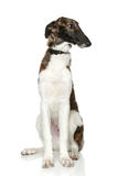 Russian Borzoi puppy (5 months). On a white background Stock Photography