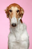 Russian Borzoi puppy (5 months) Close-up portrait Stock Photos