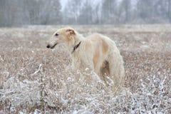 Russian borzoi on snow Royalty Free Stock Photos