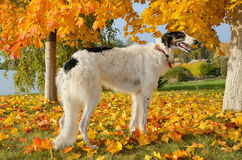 Russian Borzoi Royalty Free Stock Photo