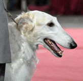 Russian Borzoi - Wolfhound dog Stock Photography