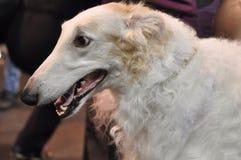 Russian Borzoi - Wolfhound dog royalty free stock photos