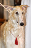 Russian Borzoi - Wolfhound dog Royalty Free Stock Image