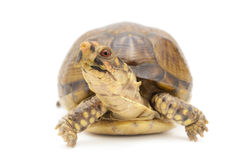 Russian Box Tortoise Royalty Free Stock Image