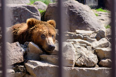 Russian brown bear. Animal in the cell Stock Image