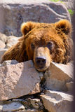 Russian brown bear. Animal at the zoo Royalty Free Stock Photo