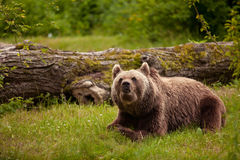 Russian brown bear. The Eurasian brown bear (Ursus arctos arctos) is one of the common names for the brown bear Stock Image