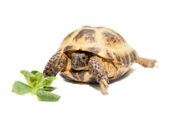 Russian or Central Asian tortoise on white. Russian or Central Asian tortoise, Agrionemys horsfieldii, female, isolated on white Royalty Free Stock Photos