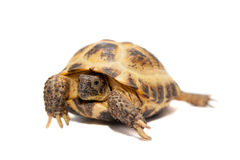 Russian or Central Asian tortoise on white. Russian or Central Asian tortoise, Agrionemys horsfieldii, female, isolated on white Royalty Free Stock Image