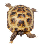 Russian or Central Asian tortoise on white. Russian or Central Asian tortoise, Agrionemys horsfieldii, female, isolated on white Stock Photography
