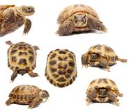 Russian or Central Asian tortoise on white Royalty Free Stock Photography