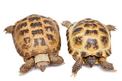 Russian or Central Asian tortoise on white. Russian Tortoise or Central Asian tortoise, Agrionemys horsfieldii, isolated on white background Royalty Free Stock Image