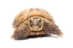 Russian or Central Asian tortoise, 30 years old Stock Image