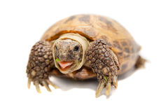 Russian or Central Asian tortoise, 30 years old Royalty Free Stock Photo