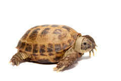 Russian or Central Asian tortoise, 30 years old Stock Photo