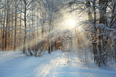 Russian cold winter forest landscape snow Stock Photos