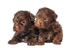 Russian color lap dog puppies Royalty Free Stock Images