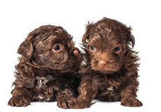 Russian color lap dog puppies Royalty Free Stock Photos