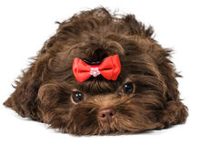 Russian color lap dog puppy. In studio Stock Photography