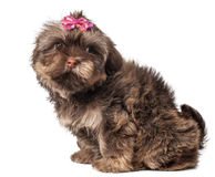 Russian color lap dog puppy Royalty Free Stock Photo
