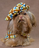 Russian color lap dog in studio Stock Image