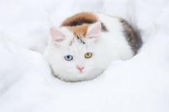 Russian  colorful cat in snow Stock Photos