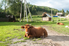 Russian cow in the village. Russia country village forest summer house cow Stock Photography