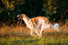 Russian Dog, Borzoi Fast Running In Summer Sunset Sunrise Meadow Royalty Free Stock Photos