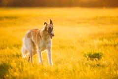 Russian Dog, Borzoi Running In Summer Sunset Sunrise Meadow Or Field. Stock Photos